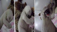 Kutup ayısının rüyaları