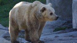 Psikopat Rus, ayının ağzında dinamit patlattı