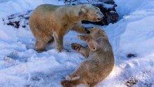 Kutup ayılarına suni kar