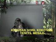 Konuşan goril Koko'dan yeni yıl mesajı