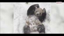 Pandanın kar keyfi