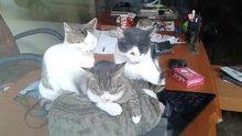 Laptop ile ısınan kediler