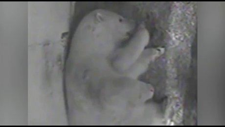 Anne kutup ayısının yavru sevgisi