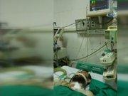 Domuz gribi olan Türk iş adamı Vietnam'da hayatını kaybetti