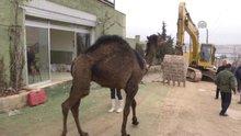 Bina yıkımını deve keserek protesto ettiler