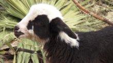 Kuzu keçi doğurdu