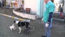Felçli sokak köpeği protezle yürüdü