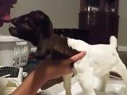 Yavru keçi ilk kez ayakları üzerinde