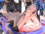 Kanser hastaları için köpek balığı dağıttı