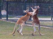 """Kanguruların """"boks maçı"""""""