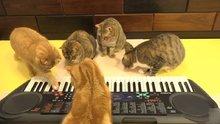 Piyano çalan kediler