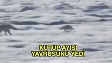 Kutup ayısı yavrusunu yedi