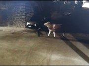 İnek hırsızlığı güvenlik kamerasında