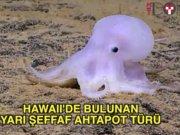 Hawaii'de yeni bir ahtapot türü