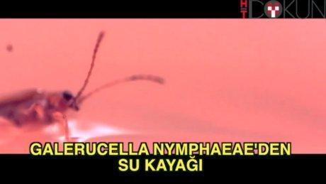 Su kayağı yapan böcek