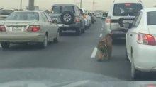 Katar'daki otobanda kaplan tehlikesi
