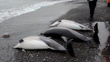 3 yunus balığı karaya vurdu