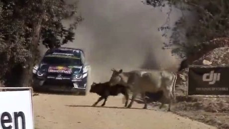 Ralli arabasının önüne atlayan inek