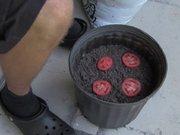 Farklı şekilde domates fidesi yetiştirmek