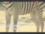 Özgürlüğe kaçan zebra, ölüme koştu