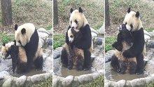 Yavrusunu yıkamak için savaş veren anne panda