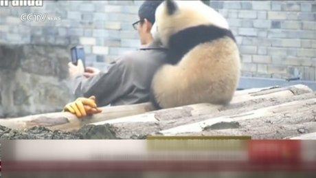 Selfie çektirmek için can atan panda