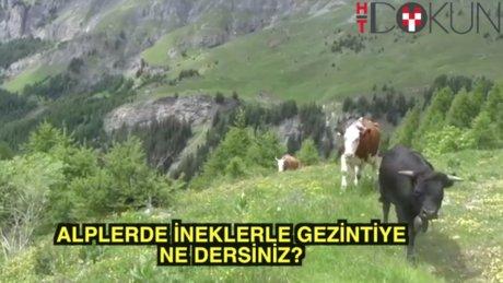 Alplerde inek gezintisi