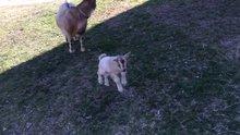 Yavru keçinin ilk kez yürüme sevinci