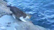 Patisiyle balık tutan usta kedi
