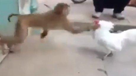 Horozla maymunun kıyasıya mücadelesi