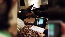 Skype'tan görüşen online köpekler