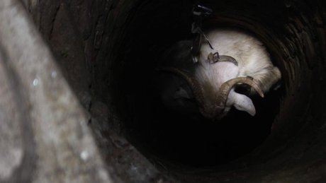Aydın'da kurtarma ekiplerinin keçi seferberliği