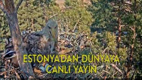 Estonya'da kartal yuvalarından canlı yayın