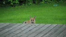 Oyun oynadığı köpeği dışarı çağıran tilki