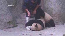 Yemek beklerken ilaçla karşılaşan panda yavrularının intikamı