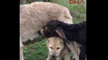 Sıpaya annelik yapan kangal