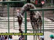 Zürafa Şakir'e eş bulundu