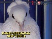 Güvercinler Çorum'dan New York'a