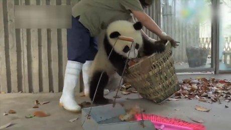 Yaramaz pandalar iş başında!