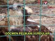 Göçmen pelikanı vurdular
