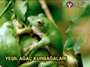Yeşil ağaç kurbağaları