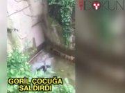 Goril çocuğa saldırırsa