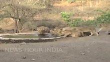 Aslanlar göletten böyle su içtiler