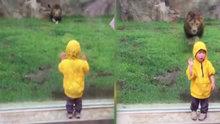 Aslan küçük çocuğa böyle saldırdı