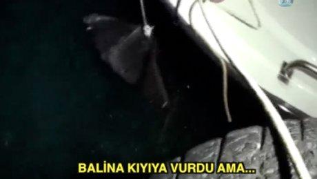 Marmaris'te balina kıyıya vurdu