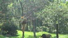 Aslanlar ağaca tırmandı!