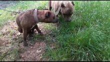 Erkek pitbull'u zehirlediler, hamile eşini zehirleyip kaçtılar