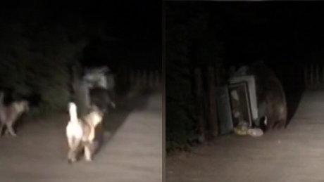 Uludağ'daki ayı ve üç yavrusu yiyecek aradı