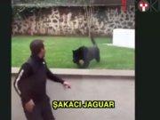 Jaguar sahibiyle şakalaşırsa