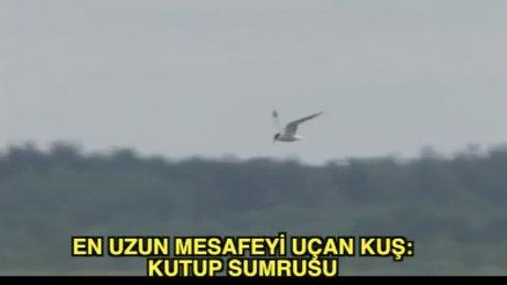 En uzun uçan kuş: Kutup Sumrusu